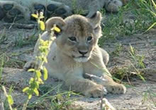 Lion Cub, Kruger park 3 day safari