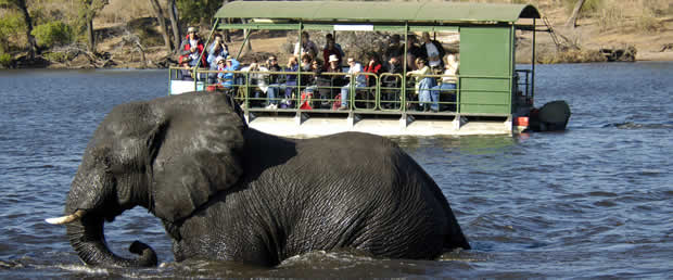 Elephants are often seen swimming in Chobe