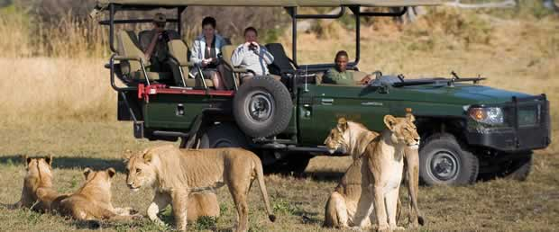 Lion watched from an open game drive vehicle
