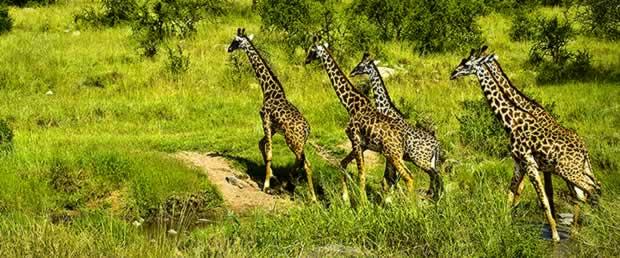 Giraffes in the reserve. Did you know they had 18 inch tongues?