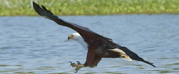 Fish Eagle in the St Lucia Wetlands