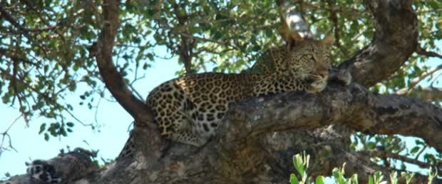Leopard in the tree at Kruger