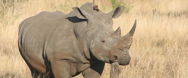 Rhino In the Kruger park